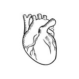 Isolated human heart outline sketch Stock Photography