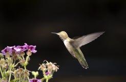 Isolated Hummingbird. Hummingbird flying around against black royalty free stock photo