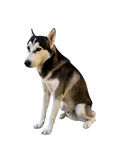 Isolated husky. Sitting husky royalty free stock photography