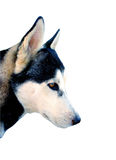 Isolated husky head. Picture of a husky head isolated royalty free stock photography