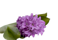 Isolated hyacinth Royalty Free Stock Photo
