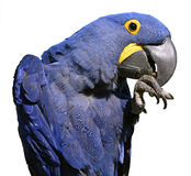 Isolated Hyacinth macaw Stock Images