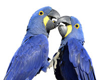 Isolated Hyacinth macaws Royalty Free Stock Images