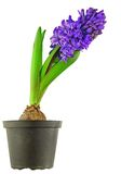 Isolated Hyacinthus Stock Photo