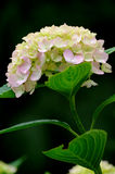 Isolated Hydrangea flower Royalty Free Stock Photography