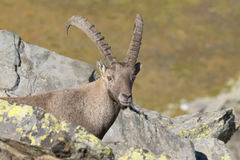 Isolated ibex deer long horn sheep Steinbock Royalty Free Stock Photography