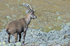 Isolated ibex deer long horn sheep Steinbock Royalty Free Stock Photos