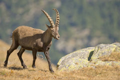 Isolated ibex deer long horn sheep Steinbock. An isolated ibex deer long horn sheep close up portrait on the brown and rocks background in Italian Dolomites Stock Photo