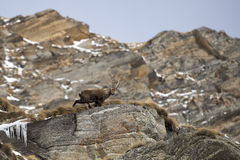 Isolated ibex deer long horn sheep Steinbock. An isolated ibex deer long horn sheep close up portrait on the brown and rocks background in Italian Dolomites Stock Images