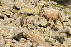 Isolated ibex deer long horn sheep Steinbock. An isolated ibex deer long horn sheep close up portrait on the brown and rocks background in Italian Dolomites Stock Photography