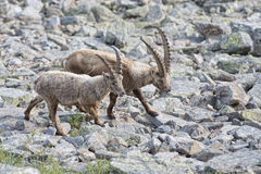 Isolated ibex deer long horn sheep Steinbock. An isolated ibex deer long horn sheep close up portrait on the brown and rocks background in Italian Dolomites Royalty Free Stock Photography