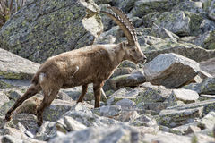 Isolated ibex deer long horn sheep Steinbock. An isolated ibex deer long horn sheep close up portrait on the brown and rocks background in Italian Dolomites Stock Image