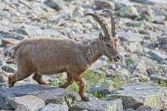 Isolated ibex deer long horn sheep Steinbock. An isolated ibex deer long horn sheep close up portrait on the brown and rocks background in Italian Dolomites Royalty Free Stock Photo