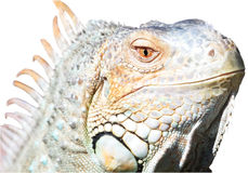 Isolated Iguana/Close Royalty Free Stock Photography