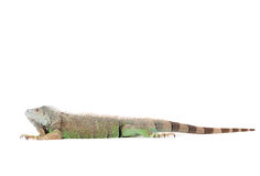 Isolated iguana Stock Photo