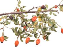 Isolated image of a branch rose hips. Stock Photo