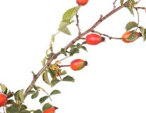 Isolated image of a branch rose hips. Stock Photography