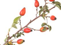 Isolated image of a branch rose hips. Royalty Free Stock Photos