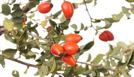 Isolated image of a branch rose hips. Stock Photos