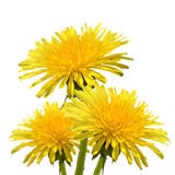 Isolated image of a dandelion flower close-up Stock Images