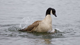 Isolated image of the expressively swimming Canada goose. In the lake Royalty Free Stock Images