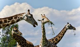 Isolated image of few cute giraffes eating leaves. Photo of four cute giraffes eating leaves royalty free stock photo