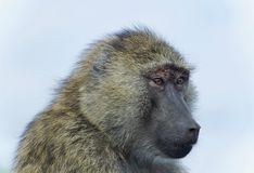 Isolated image of a funny baboon looking aside. Picture with a funny baboon looking aside stock photos
