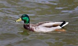 Beautiful photo of a mallard swimming in lake. Isolated image of a mallard swimming in lake Stock Images
