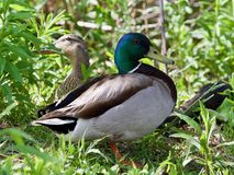 Background with a pair of mallards standing. Isolated image of a pair of mallards standing Royalty Free Stock Photo