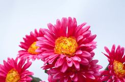 Isolated image. Isolated photos of beautiful pink Gerbera Stock Image