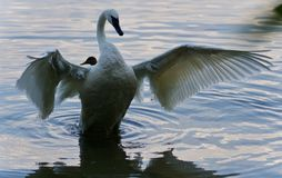 Isolated photo of a trumpeter swan showing wings. Isolated image of a trumpeter swan showing wings Stock Photography