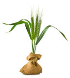 Isolated image of wheat in bags Royalty Free Stock Photography