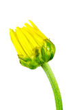 Isolated image of yellow flower bud Closed. A Isolated image of yellow flower bud Closed Royalty Free Stock Photography