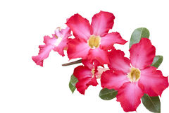 Isolated impala lily (Adenium obesum.Balf.). Isolated impala lily on white background Royalty Free Stock Photos