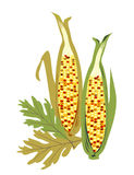Isolated Indian Corn Royalty Free Stock Image