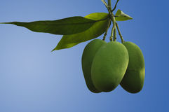 Isolated Indian Mangoes Royalty Free Stock Photo