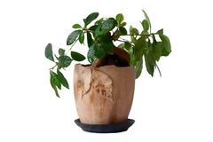 Isolated indoor plant in a pot. Unusual green indoor plant in a pot in  a white Royalty Free Stock Photo