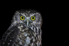 Isolated intense Owl staring into the camera royalty free stock photos