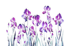 Isolated  iris flower bouquet Royalty Free Stock Photography