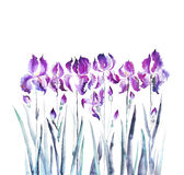Isolated iris flower garden Royalty Free Stock Photos