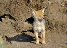 An Isolated Jackal Pup outside his den royalty free stock images