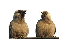 Isolated jackdaws at a chat Stock Photo