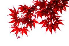 Isolated Japanese red maple leaf. On white background stock photo
