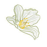 Isolated Jasmine flower  vector Royalty Free Stock Photography