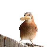 Isolated jay with bread in beak Stock Images