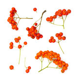Isolated juicy rowanberries. On a white background royalty free stock photos