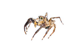 Isolated of Jumper spider Royalty Free Stock Photos