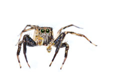 Isolated of Jumper spider Royalty Free Stock Image