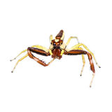 Isolated Jumping Spider Royalty Free Stock Image