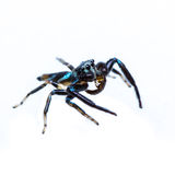 Isolated Jumping Spider and prey Stock Photos